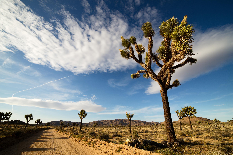 Desert Road with Joshua Trees